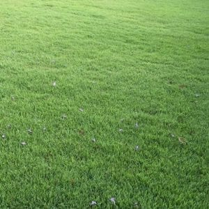 Nara Zoysia – 120 M2 or More